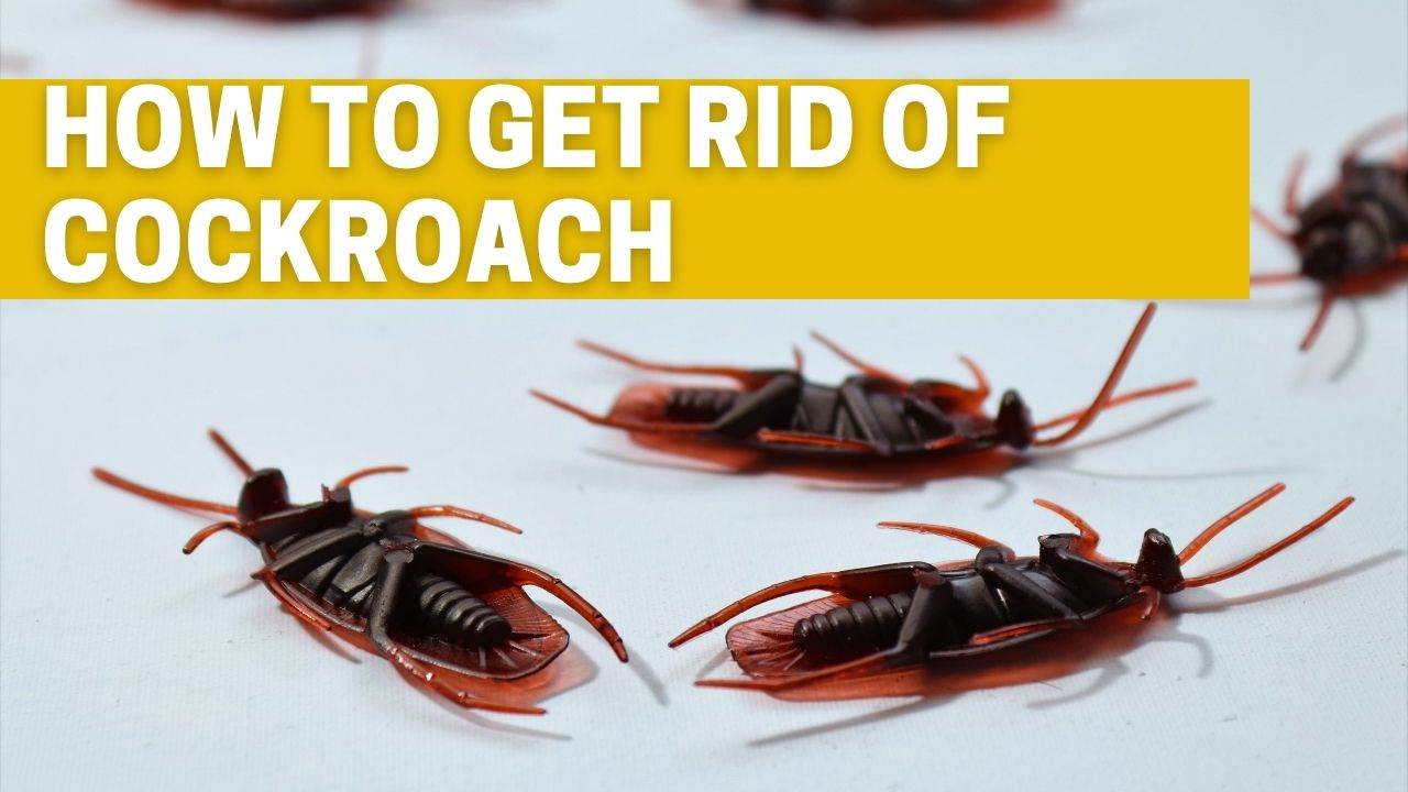 How To get rid of Cockroach